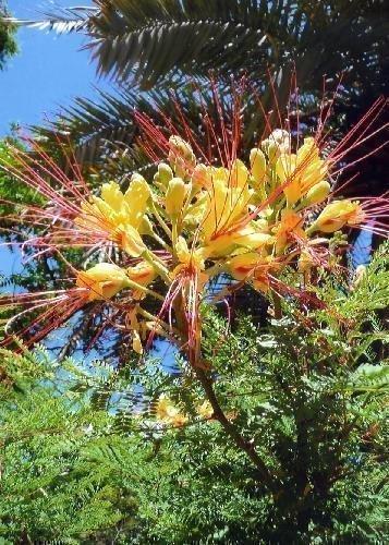 TROPICA - Winterharter Pfauenstrauch (Caesalpinia gillesii X spinosa) - 10 Samen