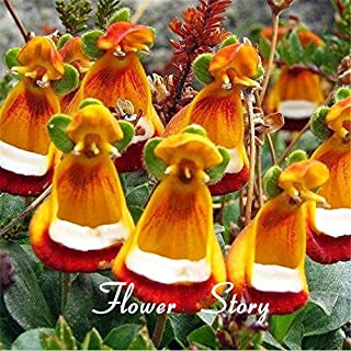 Brand New! 30 Calceolaria seeds --Yellow Slipper Flower ,Lady's purse, Slipper flower , Pocketbook, rare ,beautiful