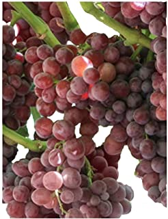Homegrown Grape Seeds, 20 Seeds, Tickled Pink Grape Cold Hardy