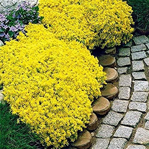 500 Stück Rock Cress Seeds Leicht zu züchten Bodendecker Blume Mehrfarbige Grünlandpflanzensamen für Rasen - Gelb