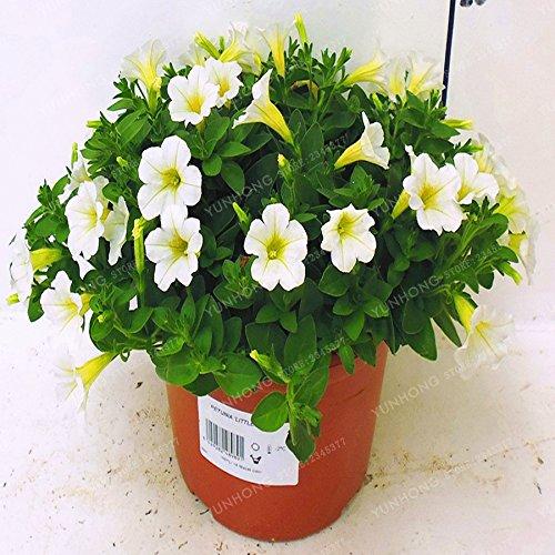 Escalade Pétunia Graines de fleurs Jardin Bonsai Balcon Petunia hybrida semences de fleurs de 20 espèces Bonsai plante facile à cultiver 100 Pcs 3