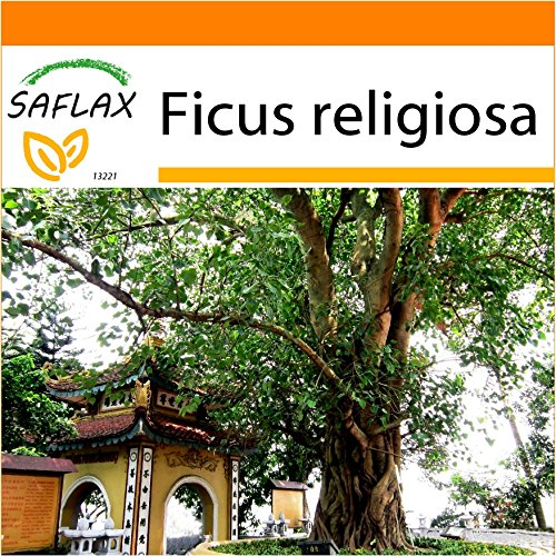 SAFLAX - Garden in the Bag - Buddha-Feige/Bodhi-Baum - 100 Samen - Mit Anzuchtsubstrat im praktischen, selbst aufstellenden Beutel - Ficus religiosa