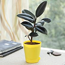 Ugaoo Air Purifying Rubber Plant with Self Watering Pot