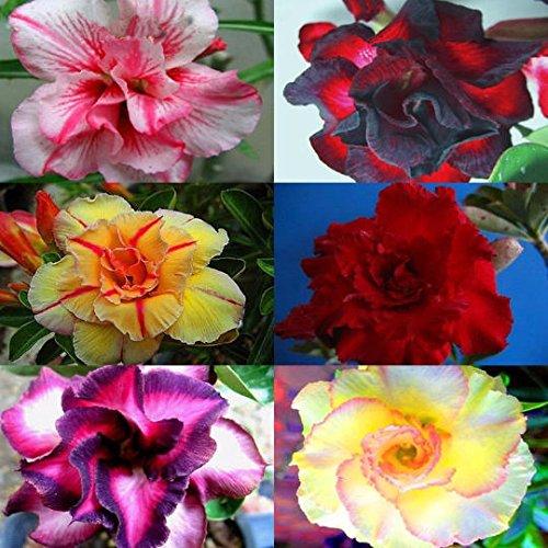 30pcs /pack Mixed 6 Types Multi-Layer Cheap Adenium obesum Desert Rose Seeds - Home Garden Bonsai Flower Plants Seed