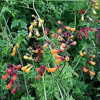50 Seeds Eccremocarpus Scaber Mix Chilean Glory Vine #SP01