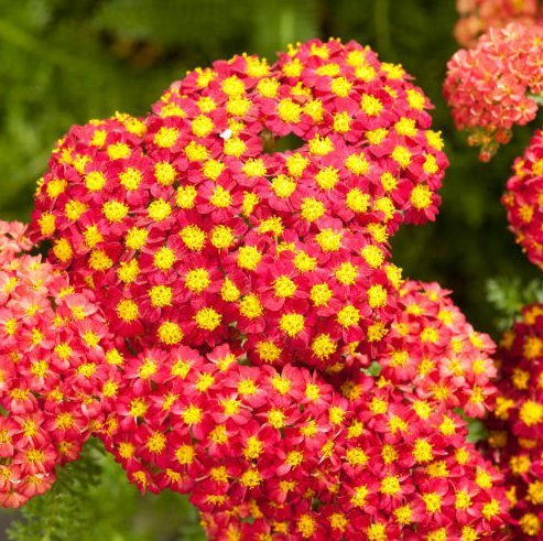 Fresh Red Yarrow Achillea millefolium 1000 semi di erbe mediche