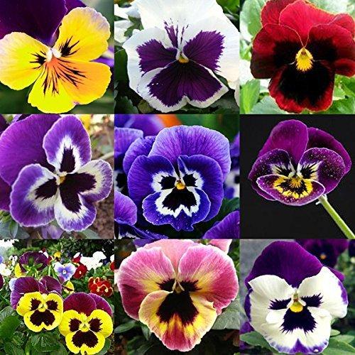 50pcs Mix Pansy Graines Viola Tricolor Fleur Bonsai Plante