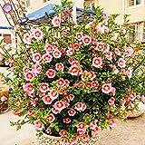 Shopmeeko Graines: 200pcs mixte Anisodontea capensis Mini Hibiscus Sun botanique Plantes d'intérieur Bonsai Fleur SEMENTES pour jardin