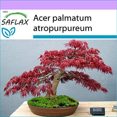 SAFLAX - Erable du Japon pourpre - 20 graines - Acer palmatum atropurpureum