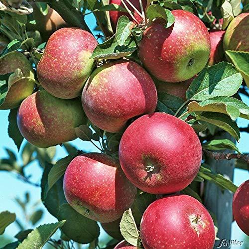 Apfel Ingrid Marie - Malus - Winterhart...