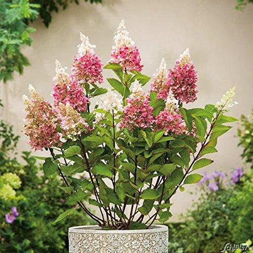 Rispenhortensie Pinky Winky weiß-rosapink - Hortensie winterhart & mehrjährig - Hydrangea paniculata - 1 Pflanze von Garten Schlüter - Pflanzen in Top Qualität