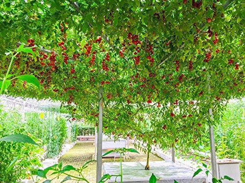 Italienisch Baum Tomaten 5 Samen (Lycopersicon) Tomato Italian Tree