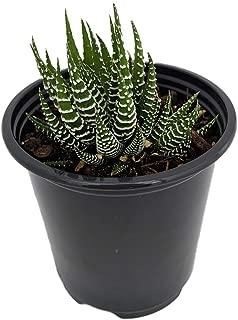 Zebra Haworthia Plant - Easy to grow/Hard to kill! - 3.5