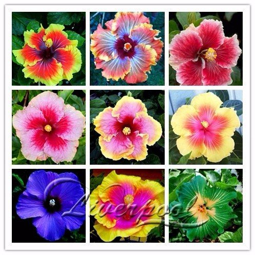 Samen Markt Seltene 20 Riesen Hibiskus Blumensamen aussehen Hardy gut das ganze Jahr über Garten DIY Hausgarten Blumentopf oder Pflanzen Hof