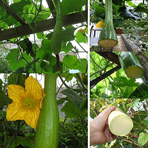 Potseed 10pcs graines de Citrouille Bon Goût Facile à cultiver Accueil légumes Bio Jardin Cadeaux de Jardinage Merveilleux