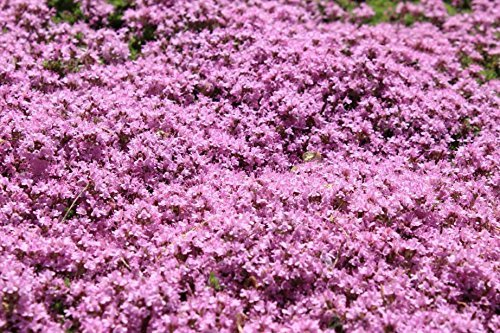 500 semillas tomillo rastrero caminar sobre ME Thymus serpyllum flor de la hierba CombSH