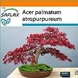 SAFLAX - Garden in the Bag - Acero palmato rosso - 20 semi - Acer palmatum atropurpureum
