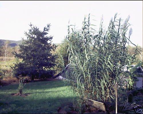 10 graines de Arundo donax GIANT REED Semences de l'herbe d'ornement