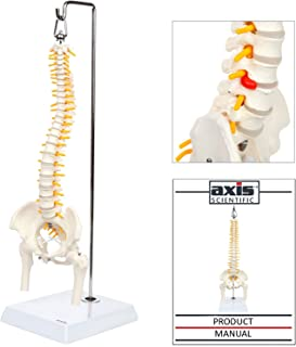 Axis Scientific Miniature Spine Anatomy Model, 15.5