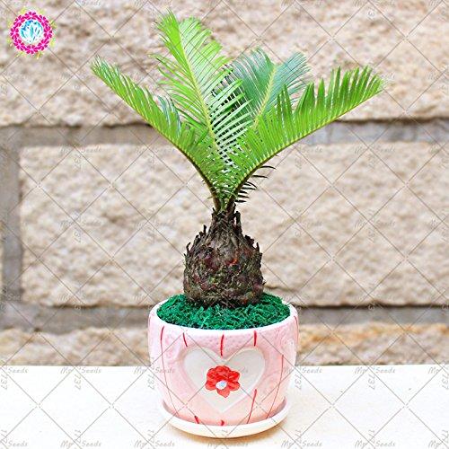 2PCS Graines Cycas Balcon semences de fleurs Bonsai Cycadales arbre Graines vivace Plante en pot pour jardin rares plantes ornementales
