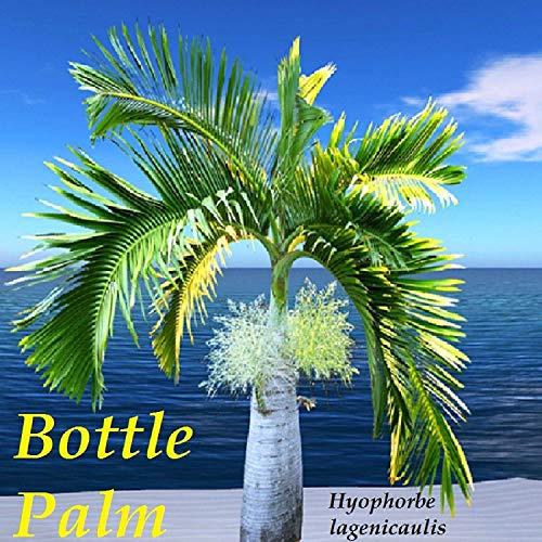 Keim Seeds: Flasche Palm Flaschenpalme Frische Samen u Wird Erhalten Sie Beste Samen aus