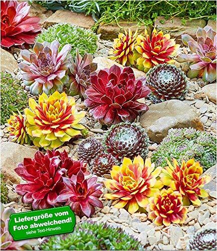 "BALDUR-Garten Winterhart""Chick Charms®""-Mix mit Gold Nugget®, 3 Pflanzen Hauswurz Dachwurz mehrjährig"