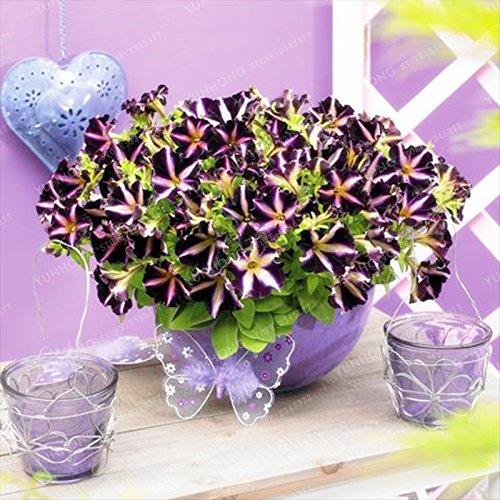 Escalade Pétunia Graines de fleurs Jardin Bonsai Balcon Petunia hybrida semences de fleurs de 20 espèces végétales Bonsai facile à cultiver 100 Pcs 20