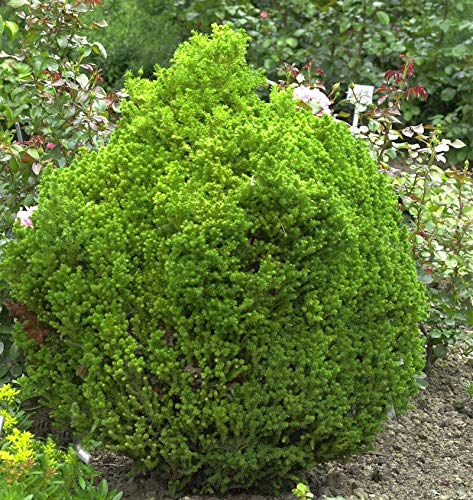 Zwerg Kugelsicheltanne 25-30cm - Cryptomeria japonica