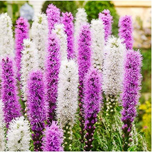 Tomasa Samenhaus- Zwerg-Prachtscharte Kobold,Prachtscharte Blumensamen mehrjährig winterhart Prachtscharten Violett-Weiße Mischung Schnittblumen,langen Blütezeit