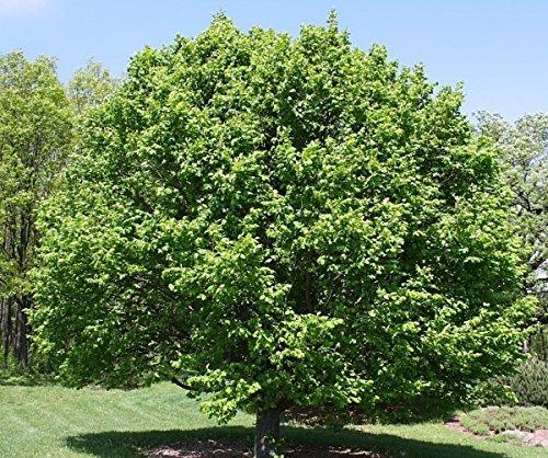 Baum des Jahres 1996 - Hainbuche im Container Größe 125 bis 150 cm