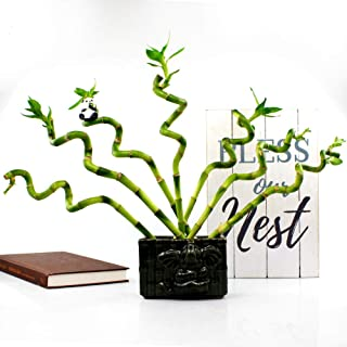 Live Lucky Bamboo 6-Inch Spiral Bamboo - Bundle of 5 Stalks - Live Indoor Plants for Home Decor, Arts & Crafts, and Feng Shui