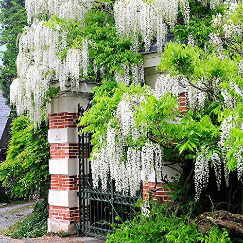 Keland Garten - 10pcs Weiß Japanische Wisteria - Kletterpflanze Blumenbaum Baumsamen Blumensamen wintergart mehrjährig, geeignet für Mauern und Zäune