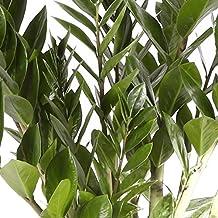 Zamioculca - Maceta 14cm. - Altura aprox. 40cm. - Planta viva - (Envío sólo a Península)