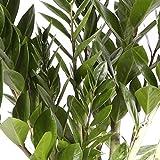 Zamioculca - Maceta 17cm. - Altura aprox. 70cm. - Planta viva - (Envío sólo a Península)