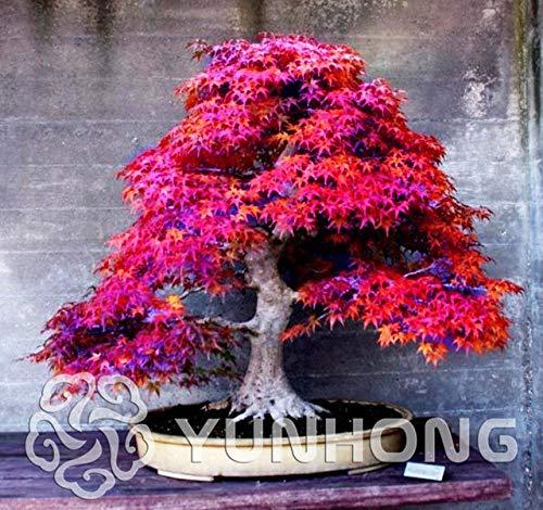 Bloom Green Co. Pianta in vaso bonsai 100% vera pianta di acero rosso Bonsai giapponese, 20 pc/pacchetto, molto bella Albero coperto: 2