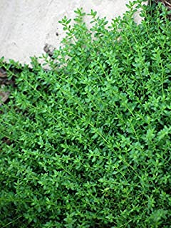 Perennial Farm Marketplace Herniaria glabra ((Rupturewort) Perennial, 1 Quart, Lime Green to White Flowers
