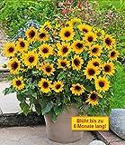 inkeme giardino - mini girasole semi gialli balcone girasoli autunno magic screen protector piante ornamentali per giardino balcone/patio