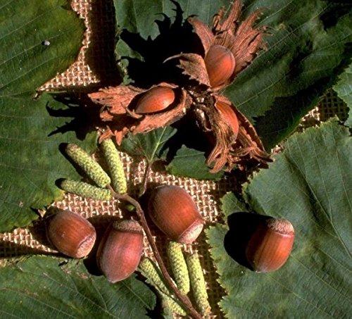 Nottingham Fruchtbare, Haselnuss, Strauch, ca. 100-120cm im großen Topf