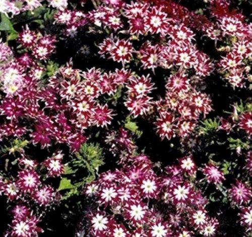 Flammenblume Phlox Sternenzauber Samen