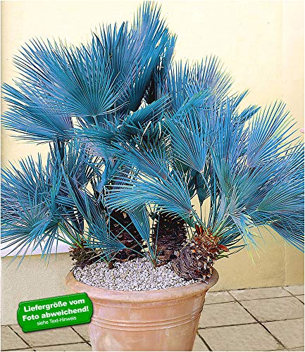 BALDUR-Garten Winterharte Blaue Zwerg-Palmen, 1 Pflanze, Chamaerops humilis Cerifera Fächerpalme