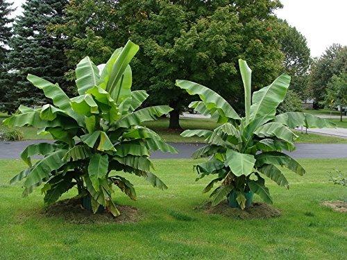 Blumen- Senf 4 Stück winterharte Banane Musa Basjoo Banane - sehr schneller Wuchs