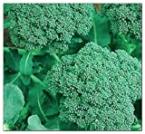 250 Broccoli Seeds | Non-GMO | Fresh Garden Seeds