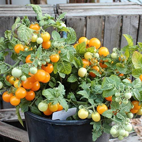 Venus Tomatensamen für ca. 20 Pflanzen - ideal für Balkonkästen, kompakt und ertragreich