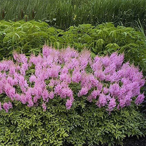 TENGGO Egrow 50 Teile/Paket Astilbe Samen Chinesische Astilbe Pflanze Astilbe Chinensis Blumensamen