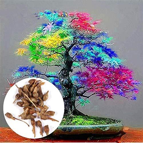 begorey Garten - Ahornbaum Samen 20 Stk. Blumensamen Indoor Balkon Anlage Dekoration