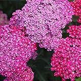 David's Garden Seeds Flower Achillea Yarrow Cerise Queen 4114 (Pink) 500 Non-GMO, Heirloom Seeds
