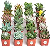 """INCLUDED IN PURCHASE   (20) Succulents of different varieties. Each succulent may vary from pictures shown. Succulents come in 2 """" square pots fully rooted in soil. WATERING NEEDS   Water 1x/week. During dormancy (winter), 1x every 2 -3 weeks. Comple..."""