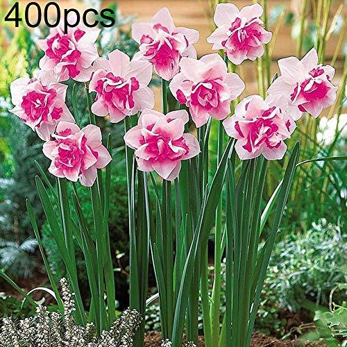 good01 400 Stücke Rosa Narzisse Blumensamen Für Garten Topf Bonsai Pflanzen Home Office Blumendekoration Narzissensamen