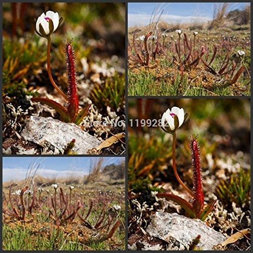Tout neuf! 100+ frais rares « Drosera Arcturi » Graines de plantes carnivores Plantes Succulentes Graines