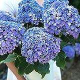 Risitar Graines - 20pcs Hortensia Magical bleu/rose/Verde, grandes fleurs doubles, Grainé fleur Plantes vivaces résistante au froid en jardin comme en pot, en terrasse